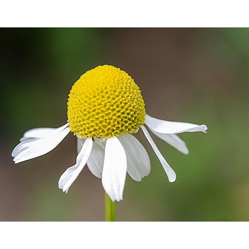 "Camomille romaine - Chamaemelum nobile - plante in situ - ""L'herboristerie Yannick Bohbot"""