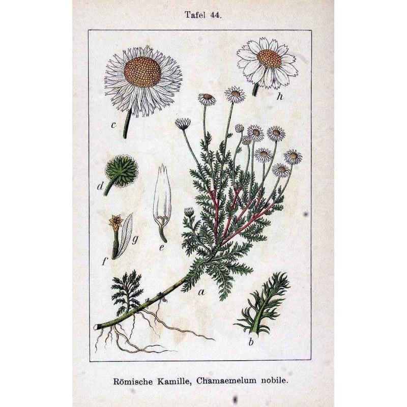 "Camomille romaine - Chamaemelum nobile - planche botanique - ""L'herboristerie Yannick Bohbot"""