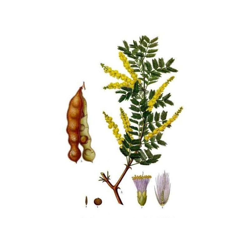 """Gomme arabique - Senegalia senegal -- planche botanique -""""L'Herboristerie Yannick Bohbot"""""""