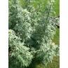 "Absinthe - Artemisia absinthium - plante in situ - ""L'herboristerie Yannick Bohbot"""