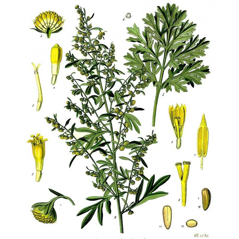 "Absinthe - Artemisia absinthium - planche botanique - ""L'herboristerie Yannick Bohbot"""
