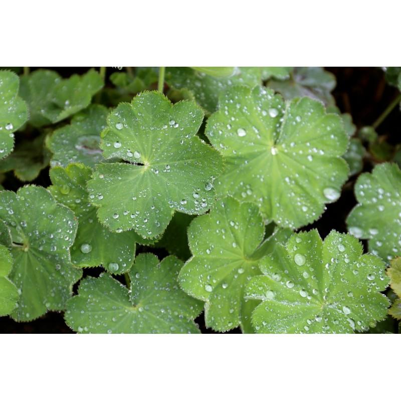 """Alchémille - Alchemilla vulgaris - plante in situ - """"L'herboristerie Yannick Bohbot"""""""