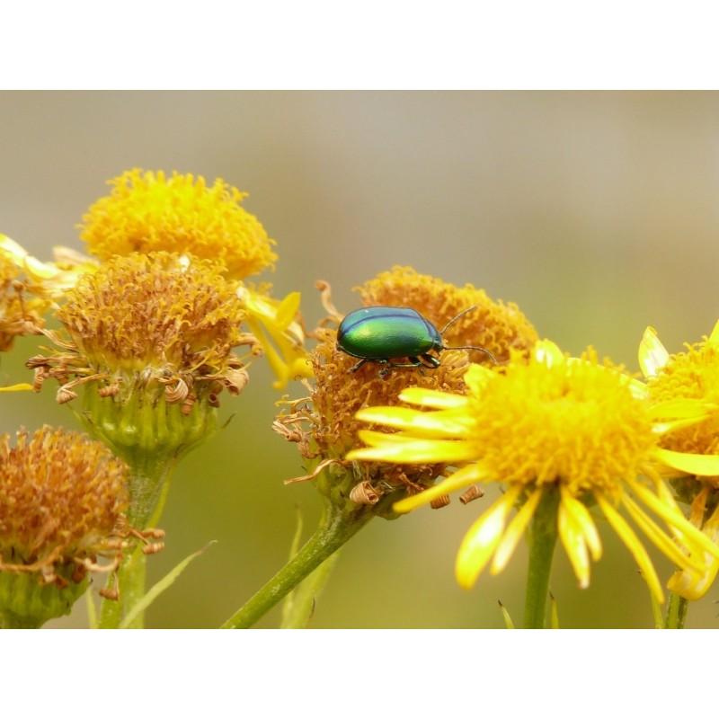 "Arnica - Arnica montana - plante in situ  avec insecte - ""L'herboristerie Yannick Bohbot"""