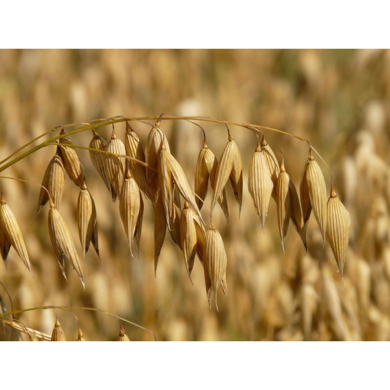 """Avoine - Avena sativa - plante in situ -""""L'herboristerie Yannick Bohbot"""""""