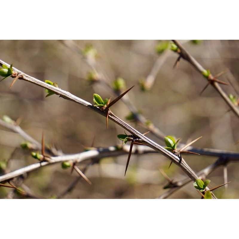 "Berberis Vulgaris - plante in situ - ""L'herboristerie Yannick Bohbot"""