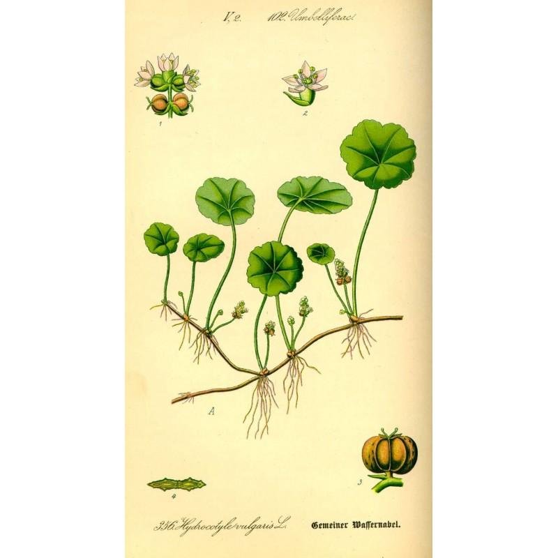 "Centella asiatica - Hydrocotyle -Gotu kola- planche botanique - ""L'herboristerie Yannick Bohbot"""