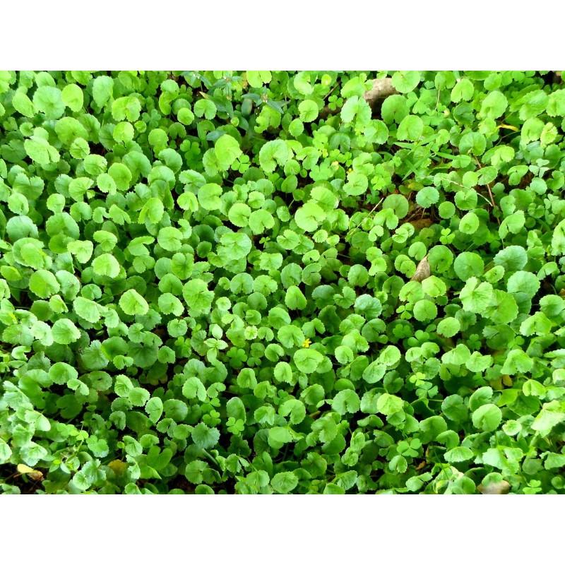 """Centella asiatica - Hydrocotyle -Gotu kola- plante in situ - """"L'herboristerie Yannick Bohbot"""""""