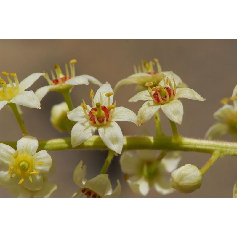 "Oliban Alden - Boswellia carterii - plante in situ - ""L'herboristerie Yannick Bohbot"""