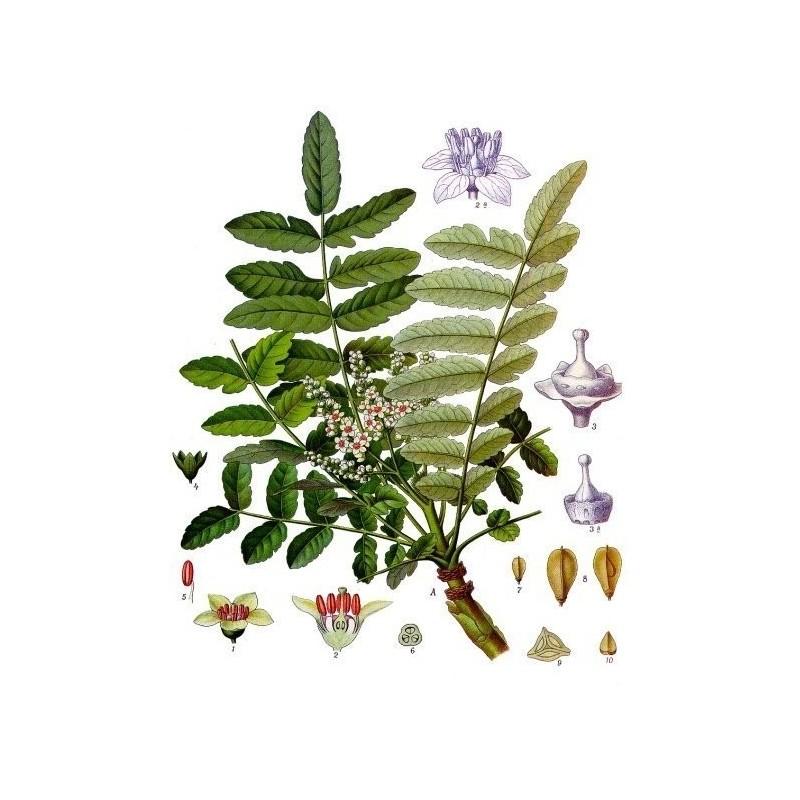 "Oliban Alden - Boswellia carterii - planche botanique - ""L'herboristerie Yannick Bohbot"""