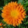 """Souci - Calendula officinalis - plante in situ - """"L'herboristerie Yannick Bohbot"""""""