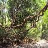 Entada rheedi, graine à rêves africaine, liane géante in situ.