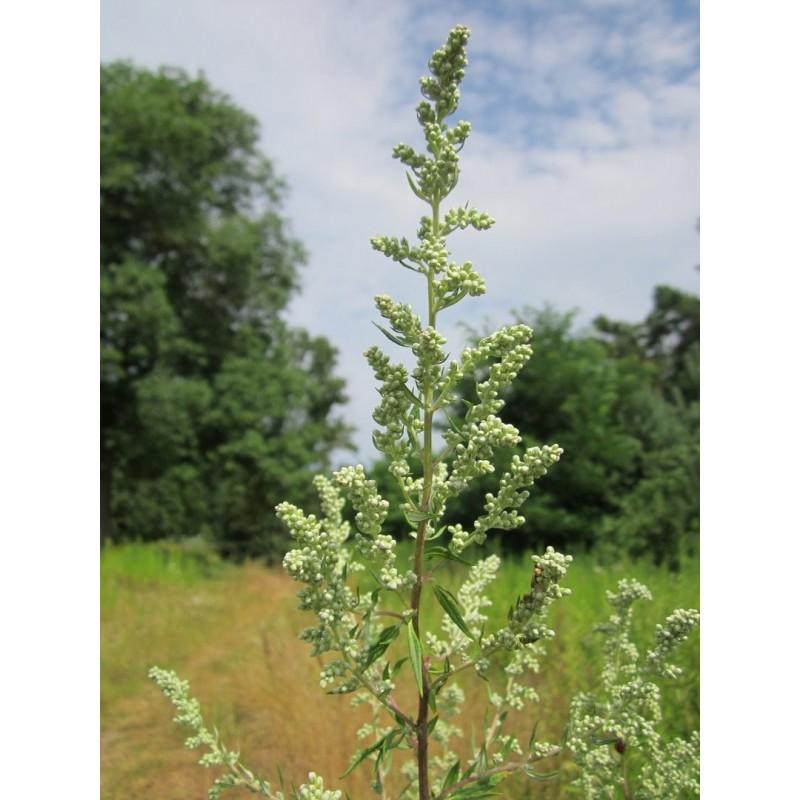 "Armoise - Artemisia vulgaris (BIO) - plante in situ - champ - ""L'herboristerie Yannick Bohbot"""